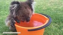 Spragniony koala szukał pomocy u ludzi