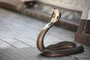 Spray na ukąszenia węży uratuje tysiące żyć