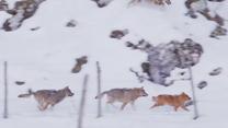 Sprytny pies przechytrzył hordę wilków