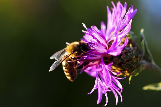 Środki owadobójcze niebezpieczne dla pszczół? /Elena Elisseeva /© Glowimages