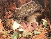 Ssaki, wiewiórka z małymi /Encyklopedia Internautica