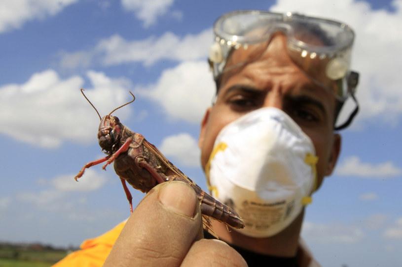 Stada owadów zagrażają zbiorom /AFP