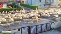 Stado owiec zakorkowało wenecką ulicę
