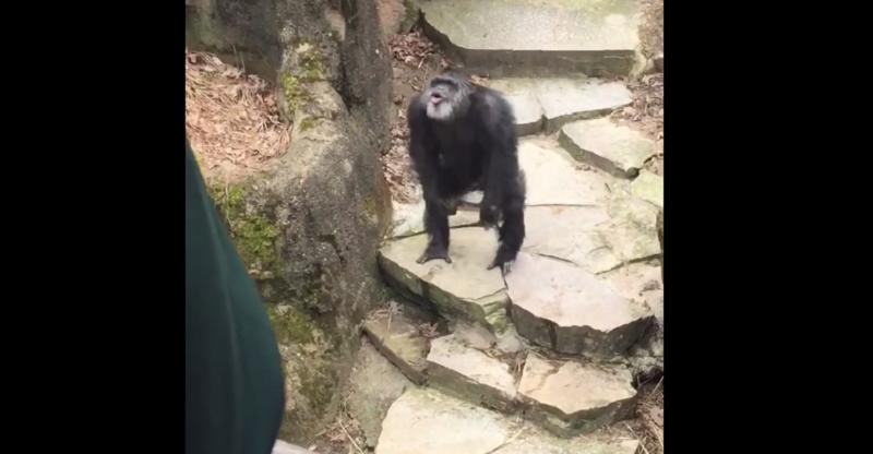 Starsza kobieta padła ofiarą tego szympansa /Jacob Mitchell /YouTube