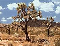 Step: Joshua Tree National Monument, Kalifornia /Encyklopedia Internautica