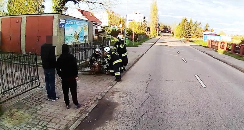 Strażacy ratują uwięzioną sarnę /miastokolobrzeg.pl /