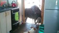 Struś chciał ukraść psie jedzenie