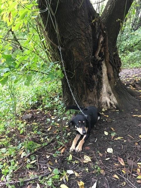 Suczka przywiązana była do drzewa półtorametrowym łańcuchem /Fot. Straż Miejska m.st. Warszawy /