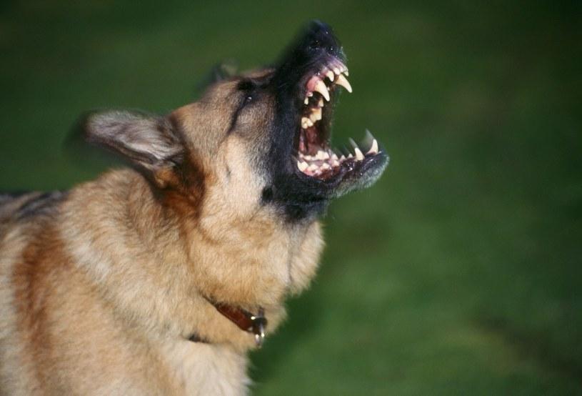 Surowe kary za niedopilnowanie niebezpiecznych psów /John Daniels /East News