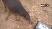 Świni też czasem puszczają nerwy