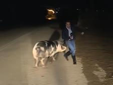 Świnia zaatakowała dziennikarza