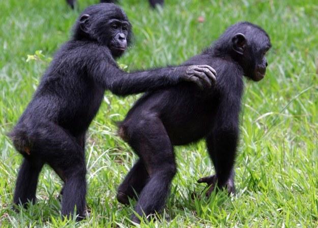 Swoimi eksperymentami Iwanow chciał udowodnić, że człowiek pochodzi od małpy /AFP