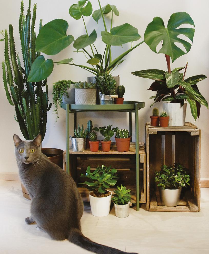 Szczególnie narażone są koty, które lubią się bawić i podgryzać liście /Projekt Rośliny /INTERIA.PL/materiały prasowe