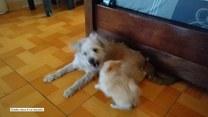 Szczeniak przekomarza się ze swoją starszą psią siostrą