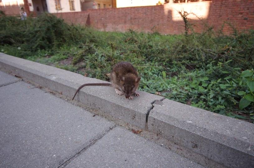 Szczur na ulicy, zdj. ilustracyjne /Marek Bazak /East News