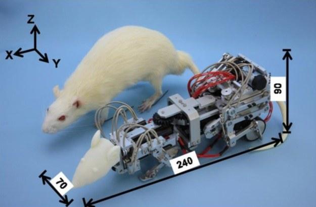 Szczur-robot pomoże pokonać depresję? /materiały prasowe