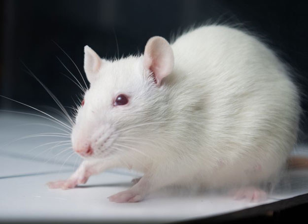 Szczur /123RF/PICSEL