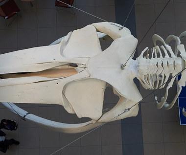 Szkielet drugiego pod względem wielkości zwierzęcia na Ziemi zawisł na Uniwersytecie Gdańskim