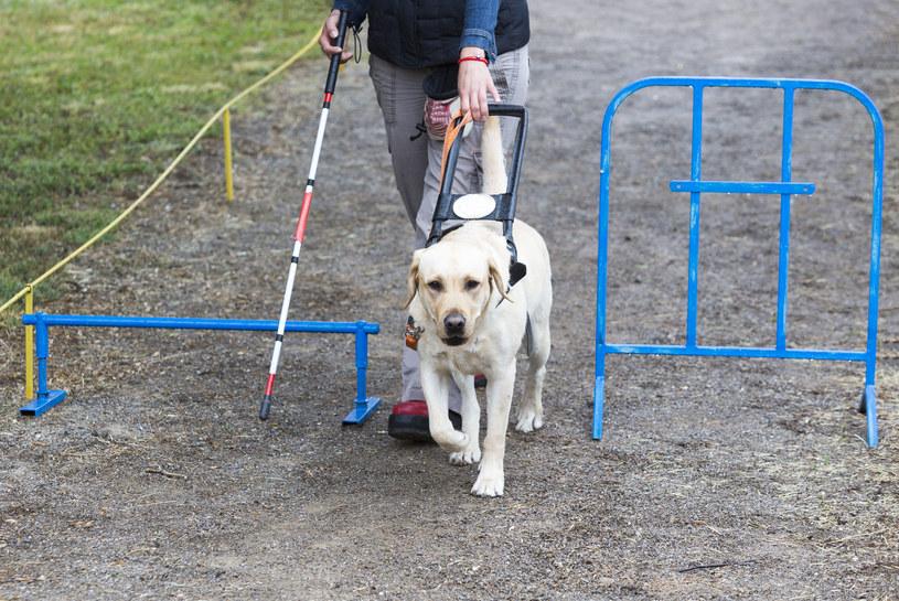 Szkolenie psa-przewodnika /©123RF/PICSEL