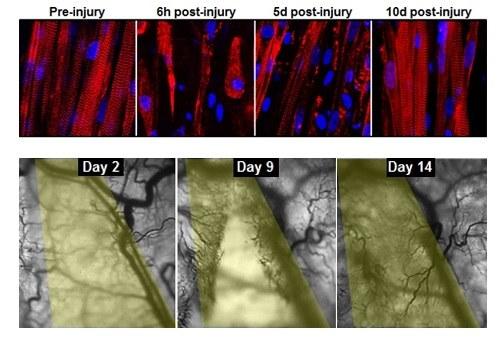 Sztuczne mięśnie same się regenerują /materiały prasowe