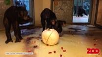 Szympansy też mają swoje halloween