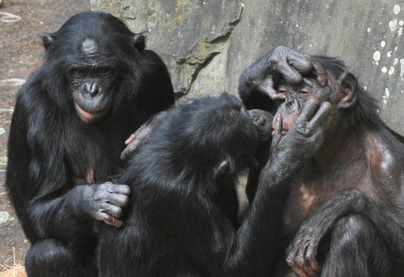 Szympansy w zoo Planckendael w Belgii /AFP