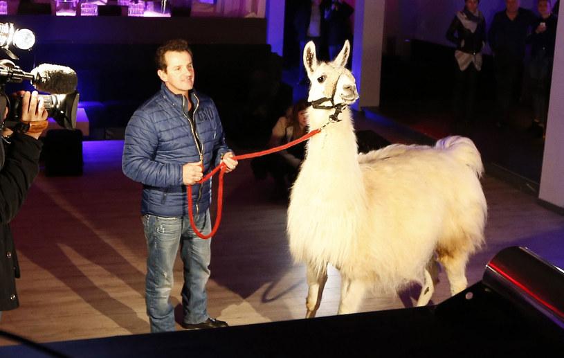 Ta lama stała się gwiazdą dyskotek! /AFP