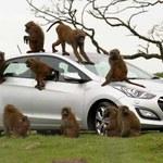 Tak testować samochody mogą tylko małpy