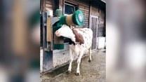 Tak wygląda szczęśliwa krowa