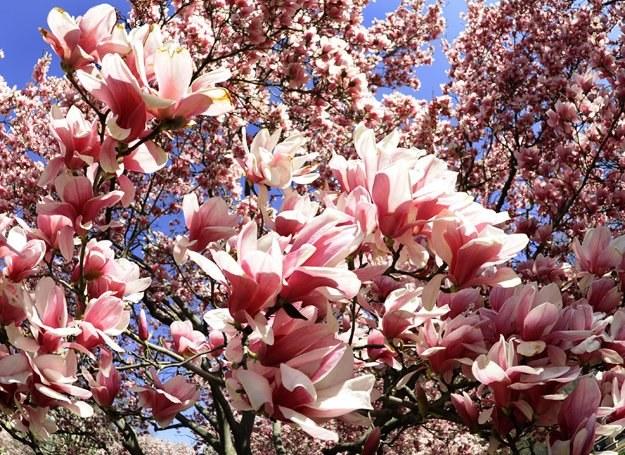 Taką magnolię możesz mieć w swoim ogrodzie /AFP