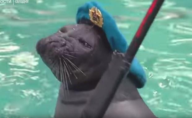 Tańczą i rozbrajają miny. Rosyjskie foki gotowe na Dzień Zwycięstwa