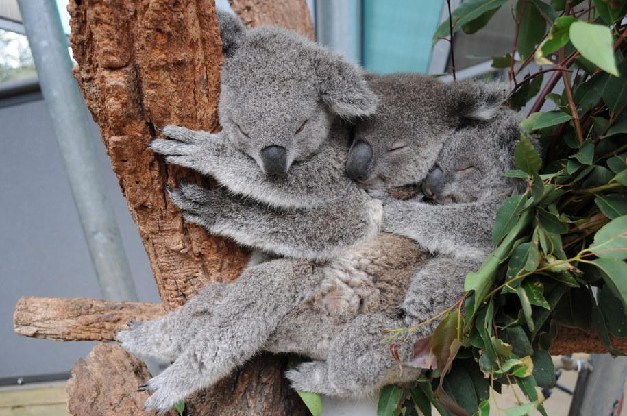 Te słodziuchy nazywają się Sydney, Milli i Tucker /ELLEN WILSON/TARONGA ZOO AUSTRALIA  /PAP/EPA