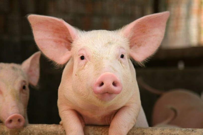 Te świnie nie odrzucą przeszczepów od ludzi /123RF/PICSEL