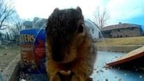 Te wiewiórki kochają orzeszki i nie są speszone kamerą