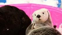 Te wydry uwielbiają tarzać się w śniegu