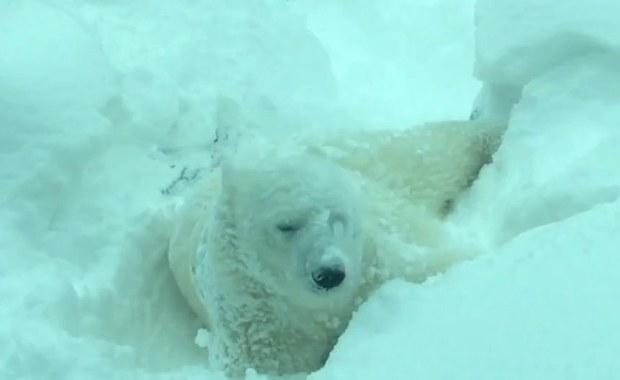 Te zwierzaki kochają zimę. Zobaczcie!