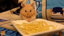 Ten chomik jest miłośnikiem spaghetti