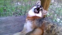 Ten lisek czeka na…