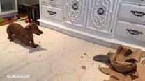 Ten pies oszalał na punkcie nowej zabawki