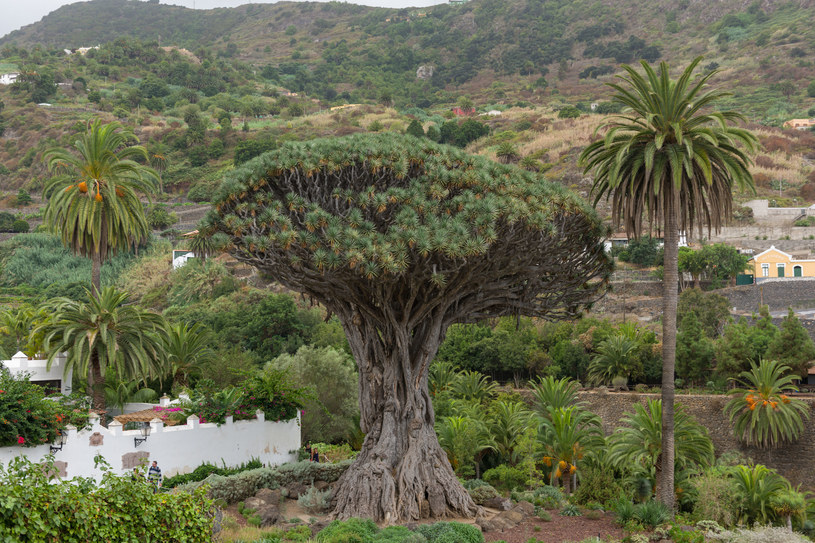 Teneryfa: Największe drzewo smocze na świecie /123RF/PICSEL