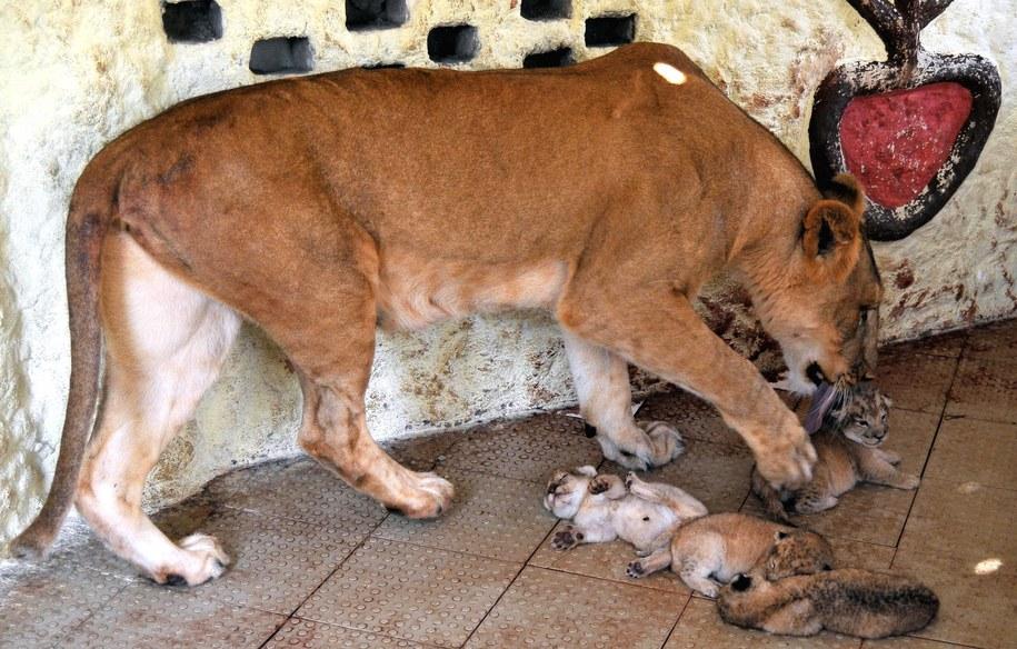 To już drugie potomstwo lwicy Rani /FAISAL KAREEM /PAP/EPA