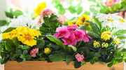 To kwiaty idealne na święta! Długo się trzymają i przyozdobią stół