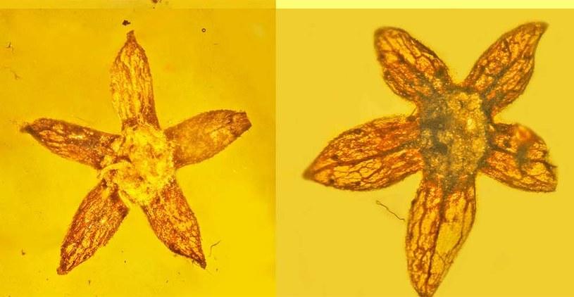 To najlepiej zachowane skamieniałe kwiaty w historii /Fot. Oregon State University /materiały prasowe