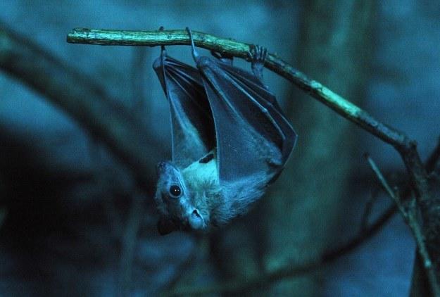 To nietoperze są źródłem SARS. Także gatunki żyjące w Polsce /AFP