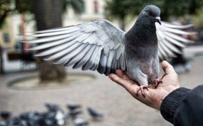 To ptak? Nie. To samolot? Też nie. To... super gołąb! /AFP