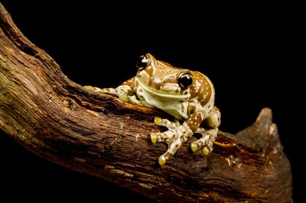Trachycephalus resinifictrix - nadrzewna żaba, występująca w lasach deszczowych Amazonii /123/RF PICSEL