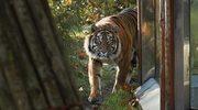 Tragedia we wrocławskim zoo. Tygrys zabił opiekuna