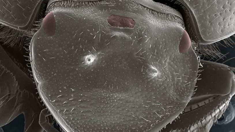 Trójoki chrząszcz /fot. Uniwersytet Indiana /materiały prasowe