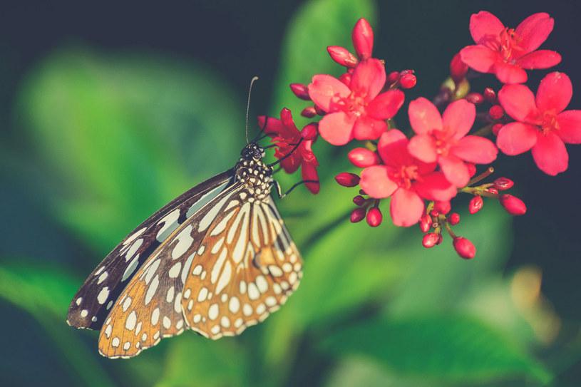 Trzepot skrzydeł motyla w Ohio jest w stanie spowodować po trzech dobach burzę piaskową w Teksasie oddalonym o 1300 mil. W ten obrazowy sposób matematyk Edward Lorenz próbował wyjaśnić swoją teorię chaosu. /123RF/PICSEL