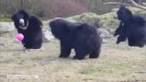 Trzy niedźwiedzie kontra różowy balonik